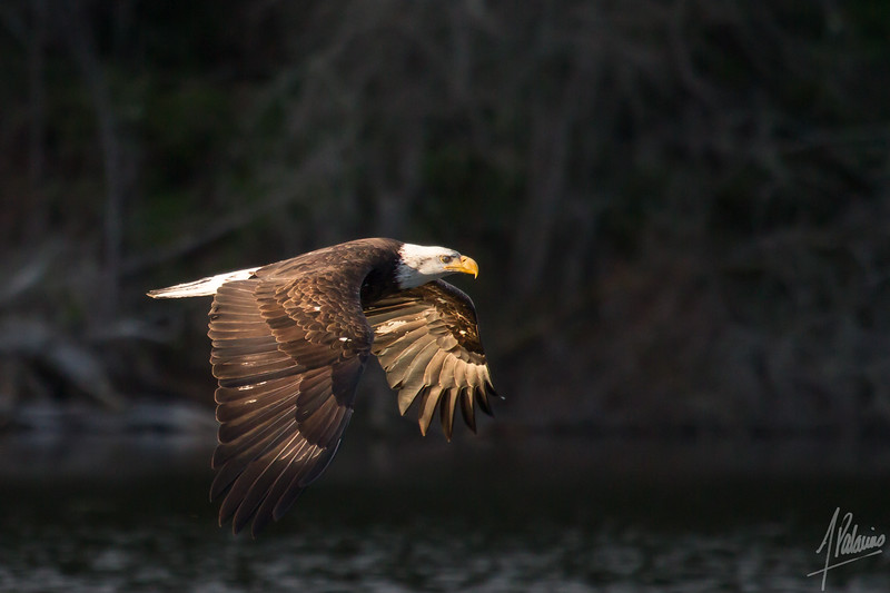 Bald Eagle @ Yellow Lake, Issaquah
