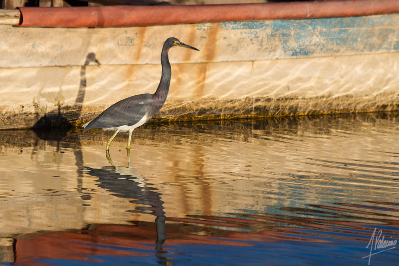 Four Tricolored Herons