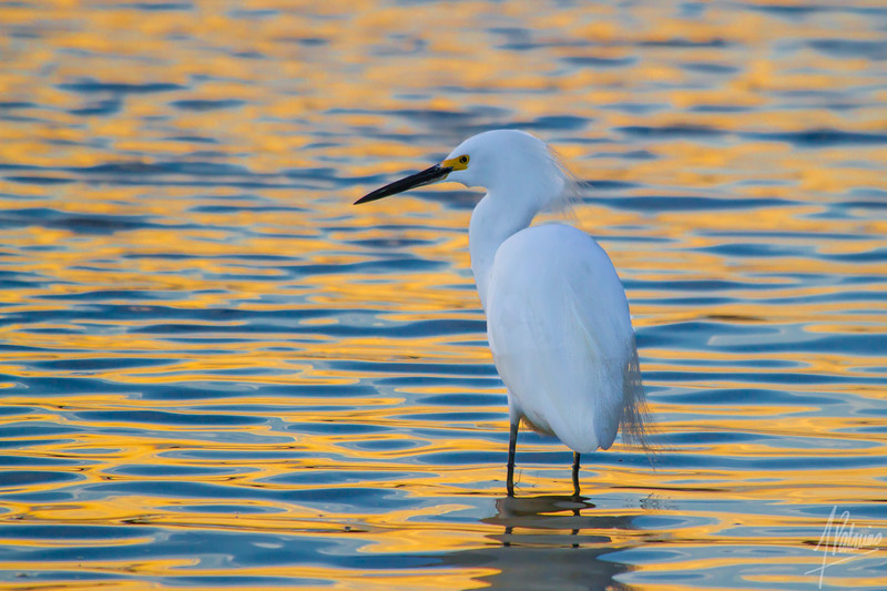 Snowy Egret on Fiery Water