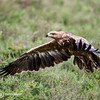 Black Kite, Serengeti