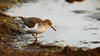 Spotted Sandpiper 2012