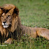 Male Lion, Serengeti National Park