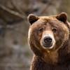 Grizzly Bear II