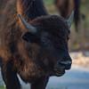 American Bison II