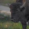 American Bison III