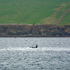 Orkney Orcas  5/5/18