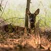 Deer near Bitton 29/8/16