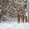 Bitton Deer