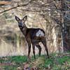 Bitton deer 17/2/18