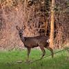 Bitton Deer 15/3/17