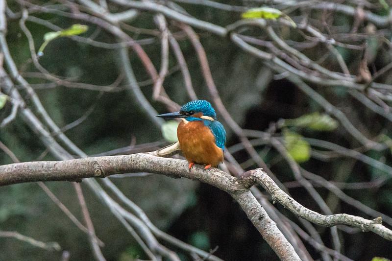 Keynsham kingfisher