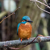 Keynsham kingfisher