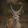 Grant's Gazelle - Male