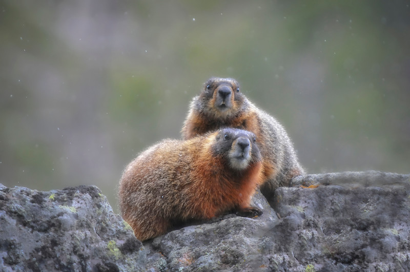 Red Marmots