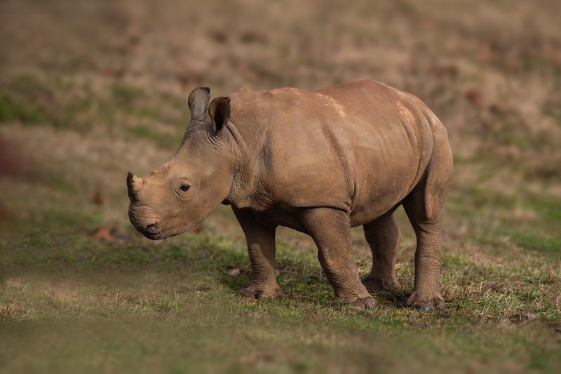 White Rhino - Juvenile
