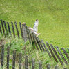 Short Eared Owl near Skaill, Orkney. May 2016