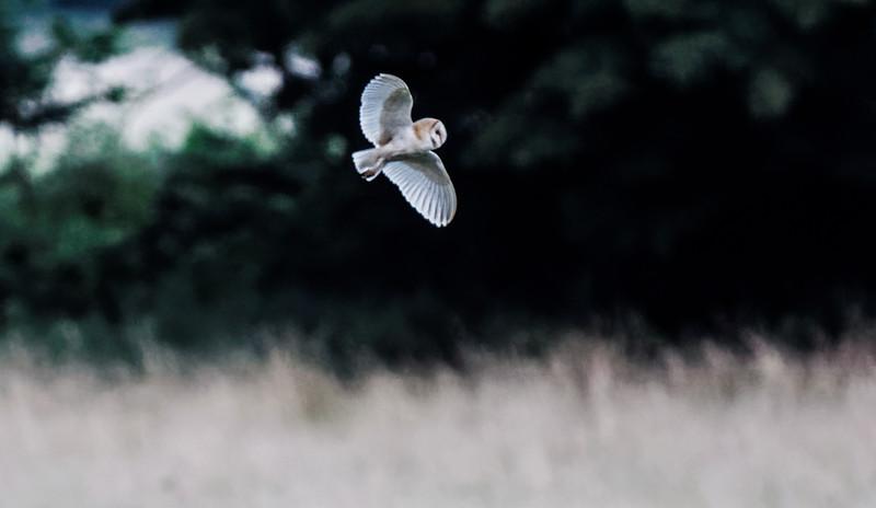 Barn owl near Bitton 29/7/16