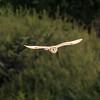Barn owl near Bitton 22/7/16