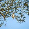 Keynsham barn owl 10/5/17