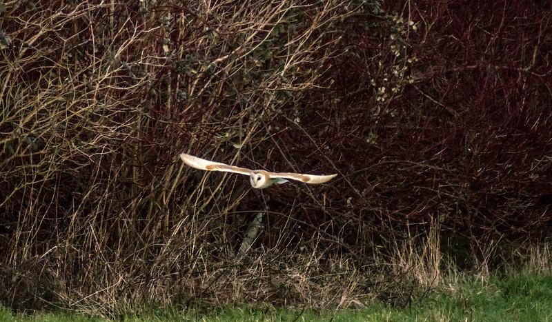 Barn Owl, Bitton, 23/2/16