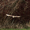 Barn Owl, Bitton, 23/2/16