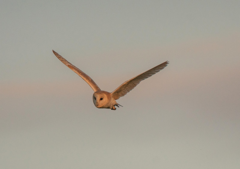 Barn owl near Keynsham 7/5/17