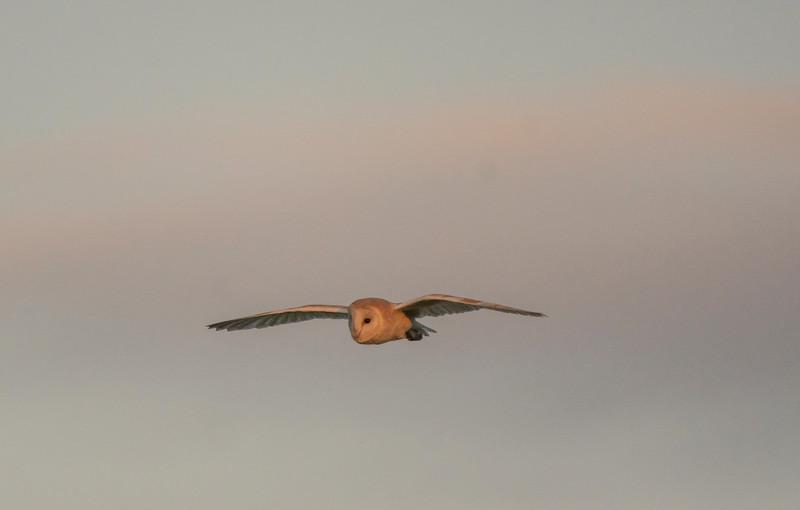 Barn owl near Keynsham 7/5/17