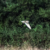 Barn owl near Bitton 19/7/16