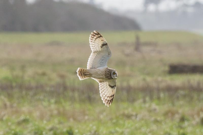 Aust Short Eared Owls 23/3/18