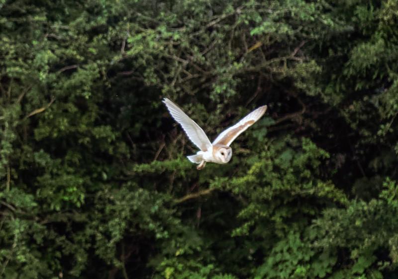 Barn owl near Bitton 19/7/16