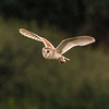 Barn owl near Bitton 22/7/16
