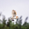 Barn owl near Bitton 29/7/16