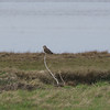 Aust Short Eared Owls 23/3/18