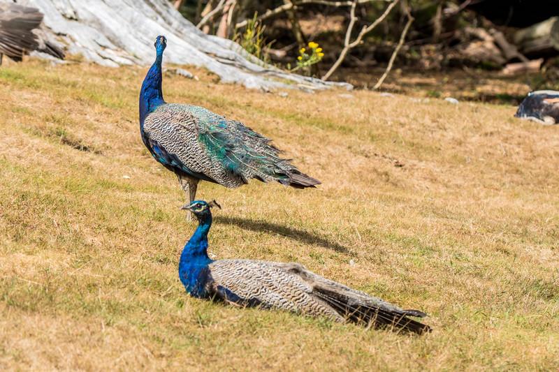 Peacocks on Brownsea Island, Poole. 20/8/16