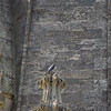 Peregrine Falcon, St Johns Church, Bath 2/6/16
