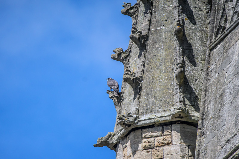 More Bath Peregrines 30/7/16