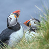 Puffins, Castle O' Burrian, Westray. May 2016