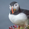 Puffin, Castle O' Burrian, Westray. May 2016