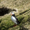 Hermaness Puffin, Unst