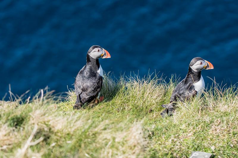 Puffins at Sumburgh Head, Shetland. May 2016