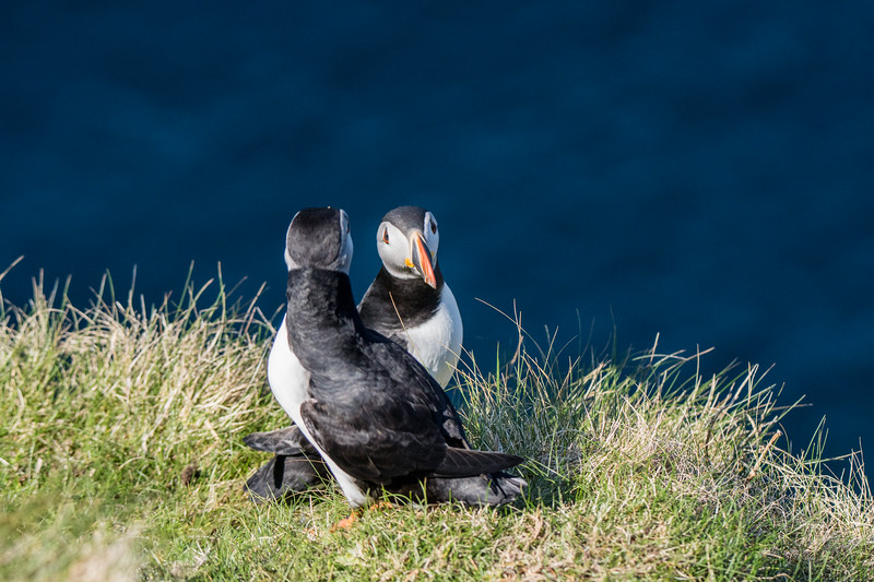 Puffins at Sumburgh Head 9/5/16