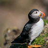 Puffin at Sumburgh Head 9/5/16