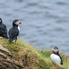 Puffins at Castle O' Burrian, Westray. May 2016