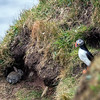 Puffin & Rabbit at Castle O' Burrian, Westray. May 2016