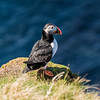 Puffins at Sumburgh Head, Shetland. May 2016