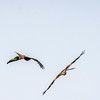 Red kites Watlington Hill 28/5/16