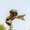 Red kite Watlington Hill 28/5/16