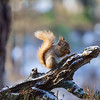Cairngorms red squirrels 7/3/18