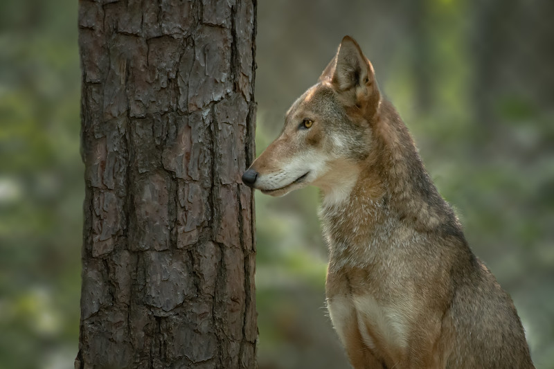 Red Wolf Portrait