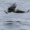 Isle of Mull sea eagles 13/5/17